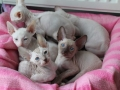 Kittens-6weken