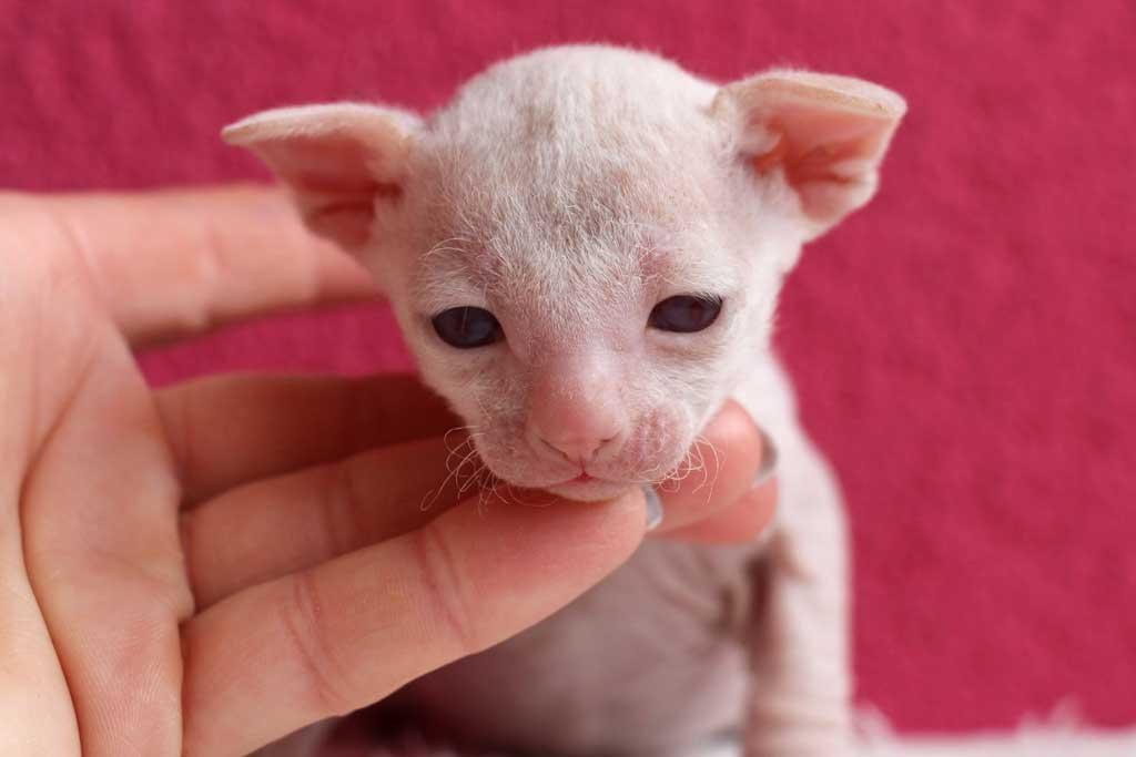 Kittens-dag-20-redpointpoesje