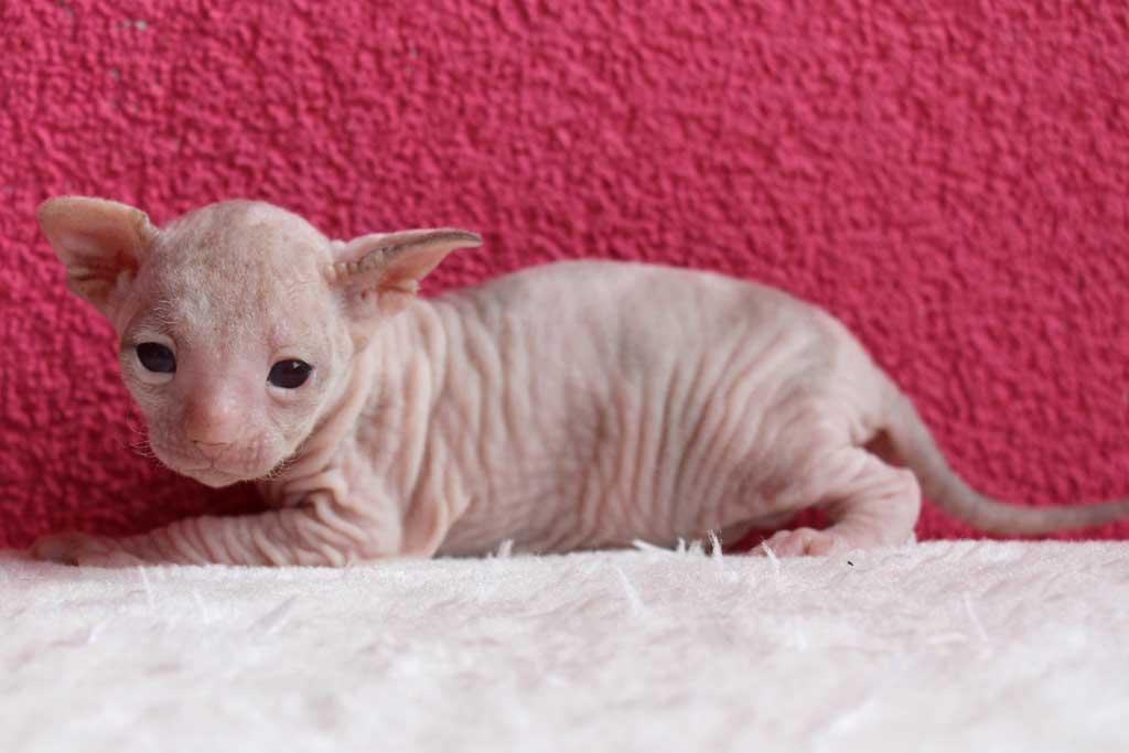 Kittens-dag-20-sealtortiepointpoesje