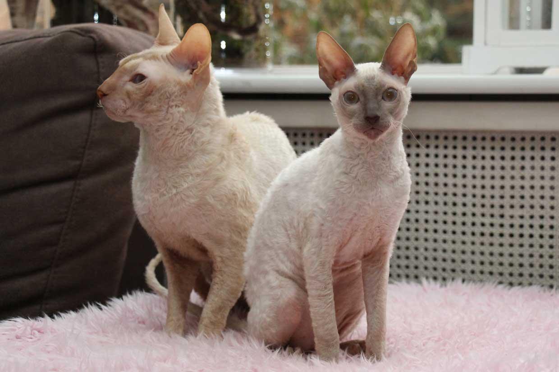 Waar Op Te Letten Bij Aanschaf Kitten
